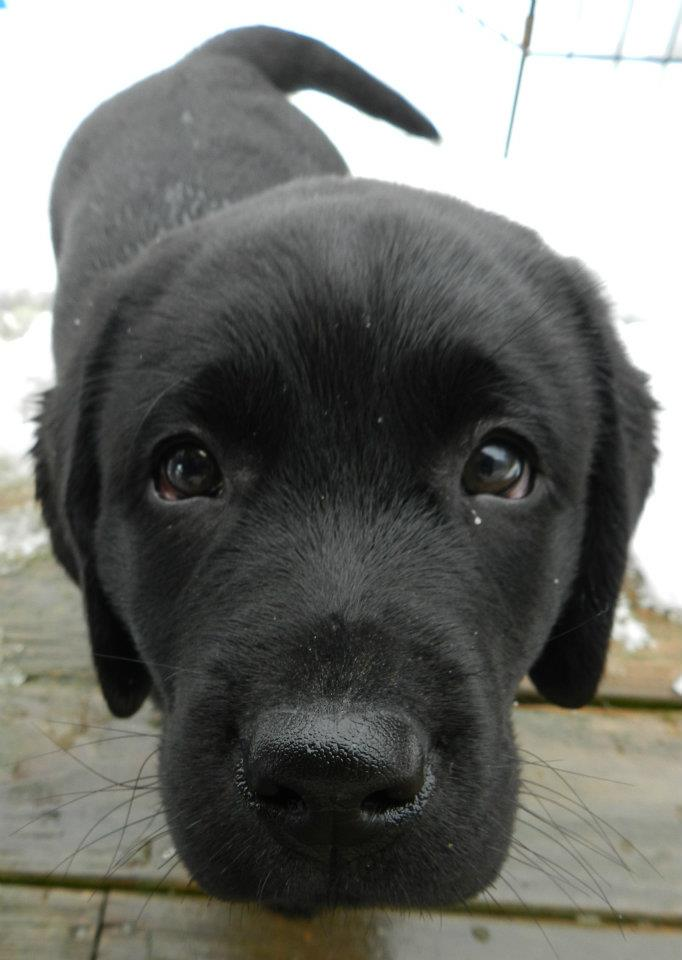 cute black lab puppies 11am cute puppy jackie i don t think you re close 3723
