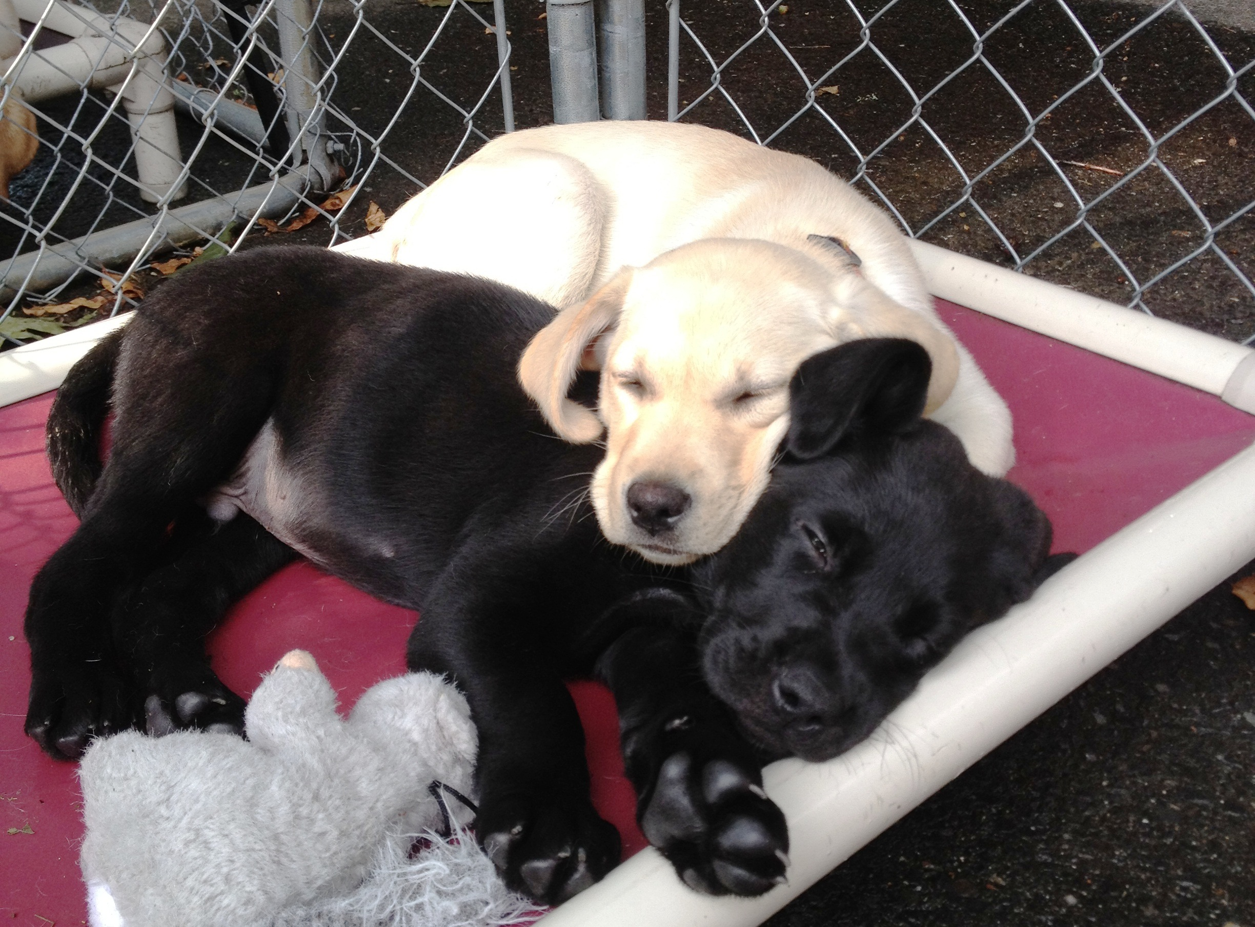Best Black Chubby Adorable Dog - 2012-07-rescue-black-lab-and-capetta-sleeping  Pic_582810  .jpg