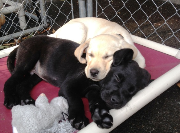 (2012-07) rescue (black lab) and Capetta sleeping