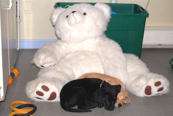 (2012-08) Lola (yellow) and Rhody resting with their teddy