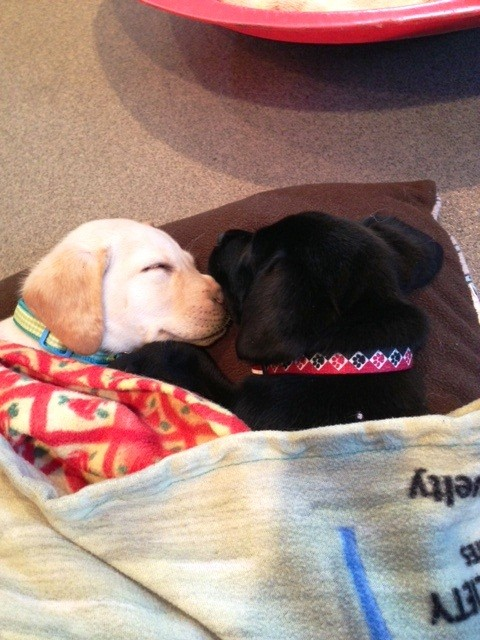 (2012-11) penny (y lab) sleeping with her brother rocket