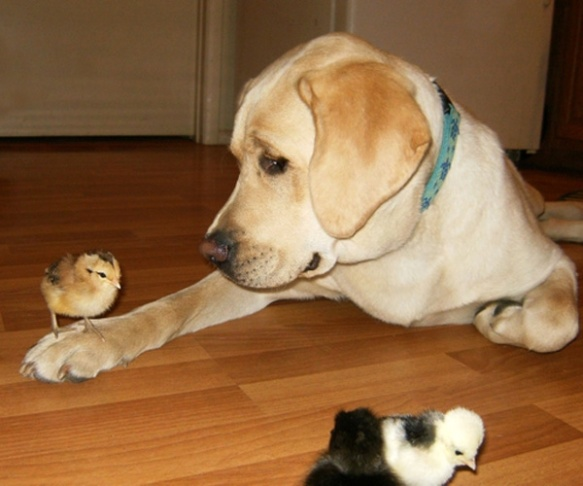 dog_with_chick