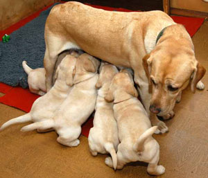 labrador-puppies-nursing